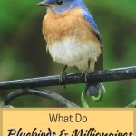 It's weird, but true. Here is something bluebirds have in common with first-generation millionaires.